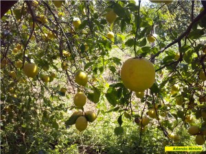 limoni-1
