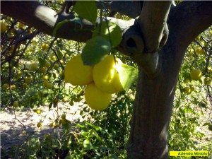 limoni-3