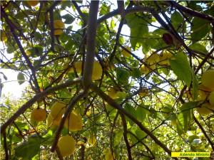 limoni-4