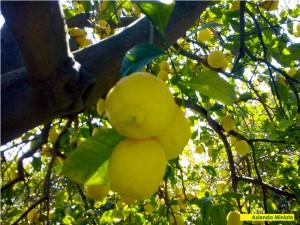 limoni-5